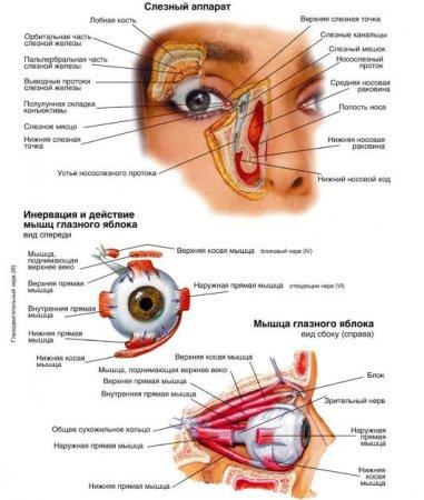 круговая мышца глаза относится к пользовательское соглашение